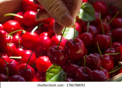 picking a couple of ripe cherries out of the box