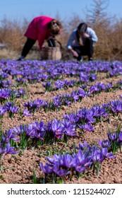Picking in a field of saffron