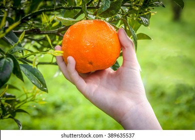 Picking the fresh orange from the tree