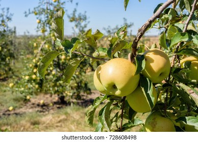 Picking golden delicious apples at the orchard