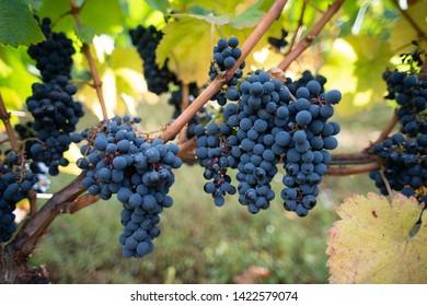 picking grapes to make wine