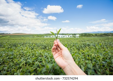picking  green tea leaf by  hand and view of  tea plantation
