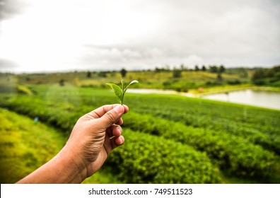 Picking green tea leaf by hand and view of tea plantation near river