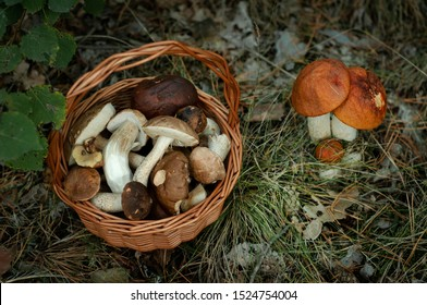 Picking mushrooms. Basket filled with mushrooms on the left and big family of groowing boletus on the right. Natural lght. Forest cover background