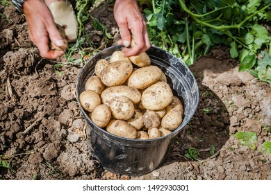picking new potatoes from the garden