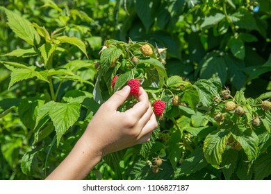 picking raspberries on the farm. child's hand holding a raspberry