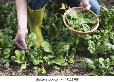 Picking spinach in a home garden. Bio spanach.