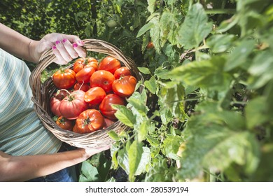 Picking tomatoes in basket. Private garden