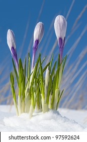 Pickwick  crocuses emerging from under snow cover in the garden, early spring