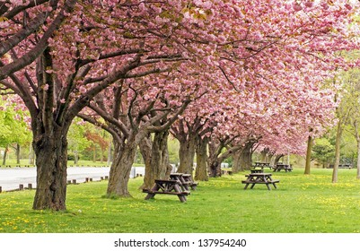 Picnic area under the blossoms of the flowering crab tree