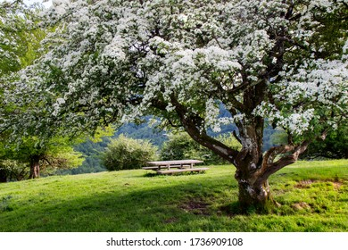 Picnic bench under a flowering hawthorn tree in Beunde, Zegama, Gipuzkoa, Basque Country, Spain, interior, Europe. On the course of the marathon Skyrunner of Zegama