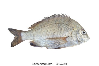 Picnic seabream fish isolated on white background, Sparus berda