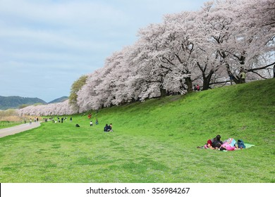 A picnic under beautiful cherry blossoms (sakura namiki) on the meadows by Sewaritei river bank in Yawatashi, Kyoto ~Sakura Hanami (admiring cherry blossoms) is a traditional leisure activity in Japan