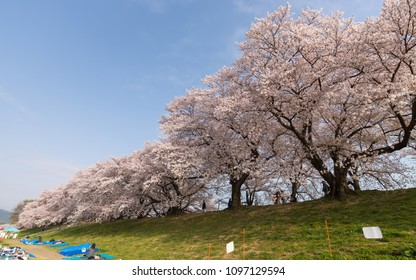 A picnic under romantic cherry blossoms on the meadows by Sewaritei river bank in Yawatashi, Kyoto ~ Hanami (admiring cherry blossoms) is a traditional activity all across Japan in spring