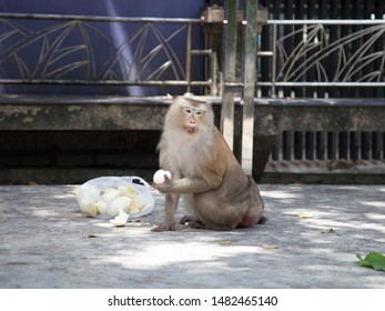 pic-tailed macaque in a open area