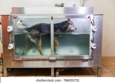 picture of an Australian Cattledog in a hydrotherapy station