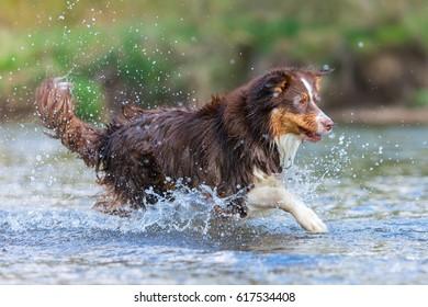 picture of an Australian Shepherd running in a river