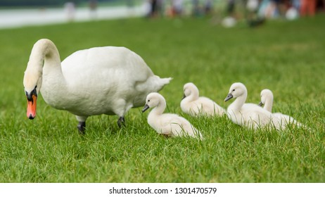 Picture of baby swan cygnets in the grass with young baby swans