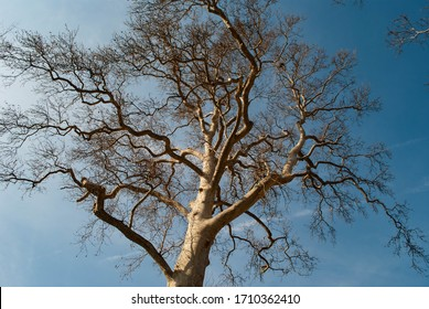 The picture of a bald tree on blue sky background at the beginning of the spring. Bold tree branches