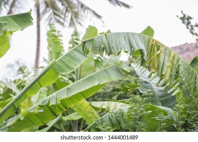 Picture of banana tree leafs in a tropical location at a summer afternoon