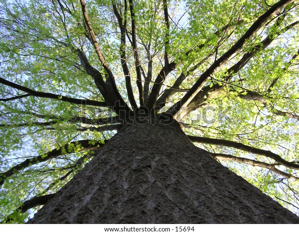 a picture from the base of a maple tree looking upwards, with the sun just behind the tree