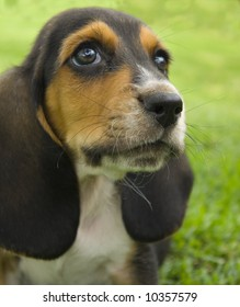 Picture of a Basset Hound Puppy