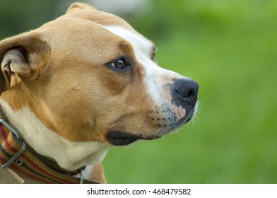 picture of a beautiful brown stafford dog,female