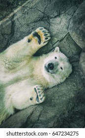 Picture of a beautiful and cute polar bear