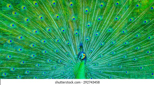 Picture of beautiful green peacock with spread open tail.