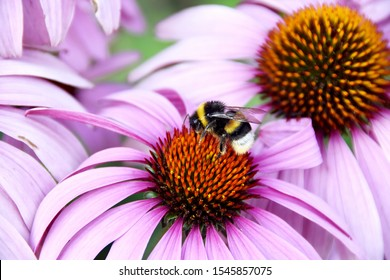 Picture of a bee on a coneflower in Belgium.