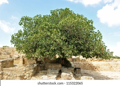 picture of a big fig tree in Crete