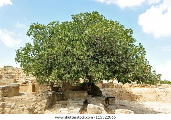 Picture Big Fig Tree Crete Stock Photo Edit Now 115322065
