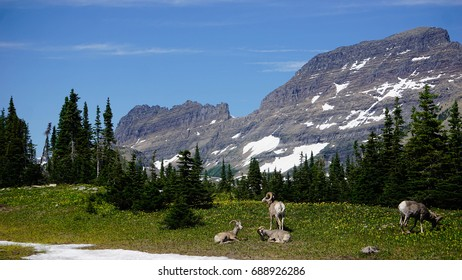 A picture of Big Horn Rams in a flowery meadow in Glacier National Park.