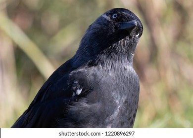 Picture of a Black Crow