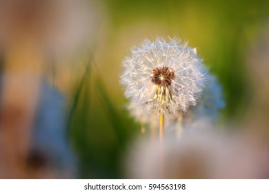 picture of a blowball in the meadow with morning light