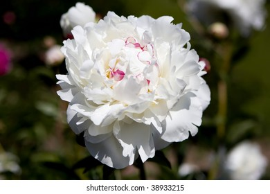 Picture of a bright white peony flower in the Royal Botanical Gardens, Burlington, Ontario, Canada