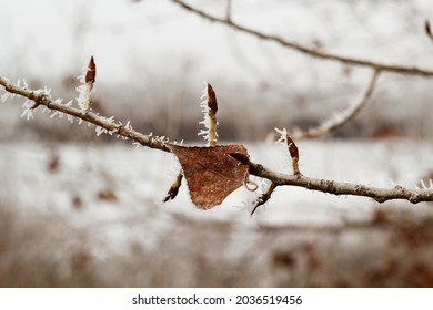 Picture of bright white winter landscape with frozen leaves of spruce tree close up