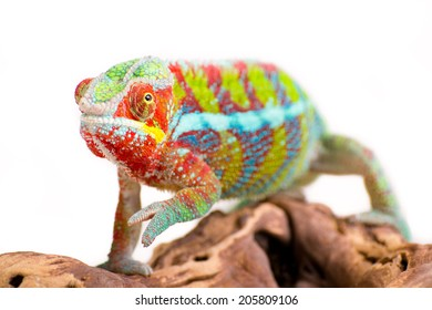 Picture of a chameleon on a white background