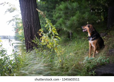 a picture of a coonhound sitting staring out at a lake in norther Wisconsin