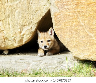 Picture of a coyote pup hiding in a rock wall in the city of Calgary, Alberta, Canada.