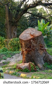 Picture of cut tree trunks on the ground or soil at Acharya Jagadish Chandra Bose Indian Botanic Garden of Shibpur, Howrah near Kolkata