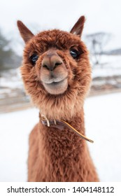 A picture of a cute, brown alpaca staring into the camera.