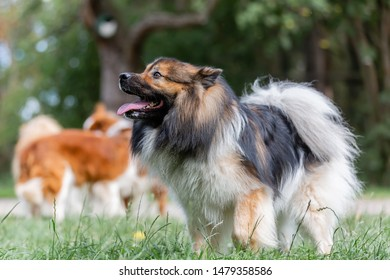 picture of a cute elo dog who stands on the meadow