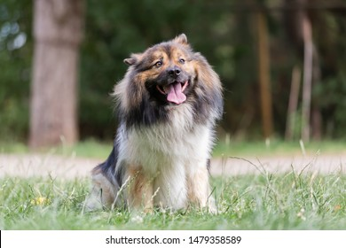 picture of a cute elo dog who sits on the meadow