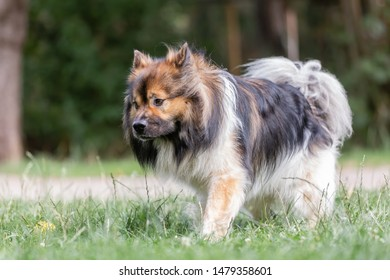 picture of a cute elo dog who walks on the meadow