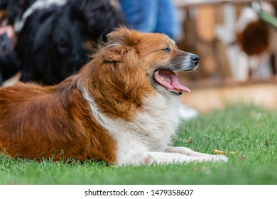 picture of a cute elo dog who lies on the meadow