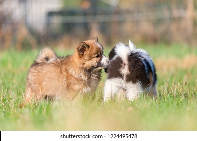 picture of cute Elo puppies are playing on the meadow