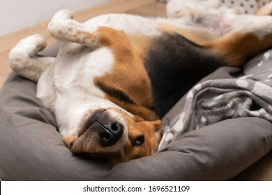 Picture of cute lazy beagle puppy lying on his pillow inside the apartment