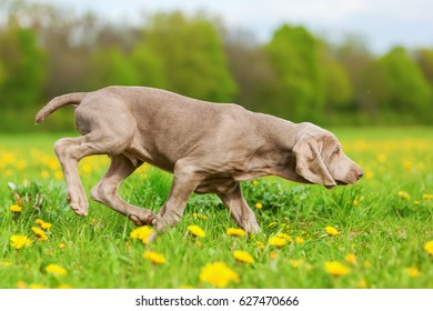 picture of a cute Weimaraner puppy in a dandelion meadow
