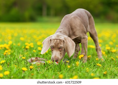 picture of a cute Weimaraner puppy playing on the meadow